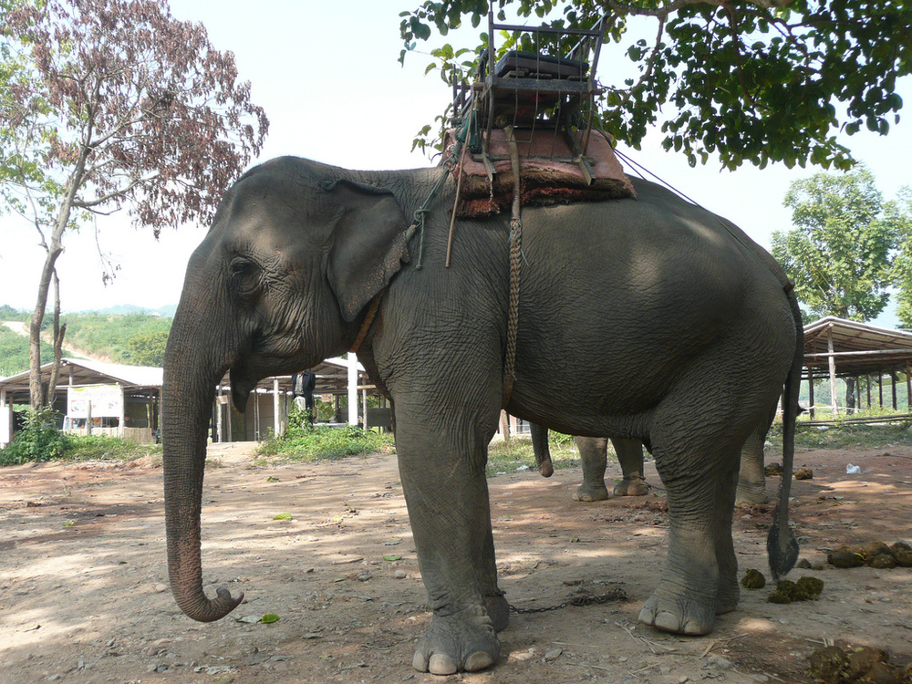 Elephant wearing a chair for guests to ride on / photo by  joaquin uy