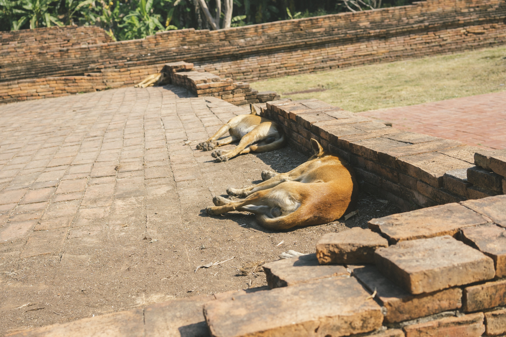 "Street dogs napping at the temple ruins of ""The Lost City"" / Chiang Mai, Thailand"