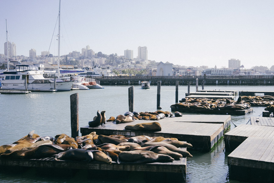 The famous San Francisco seals lounging on the docks at Fisherman's Wharf | www.MadeinMoments.com