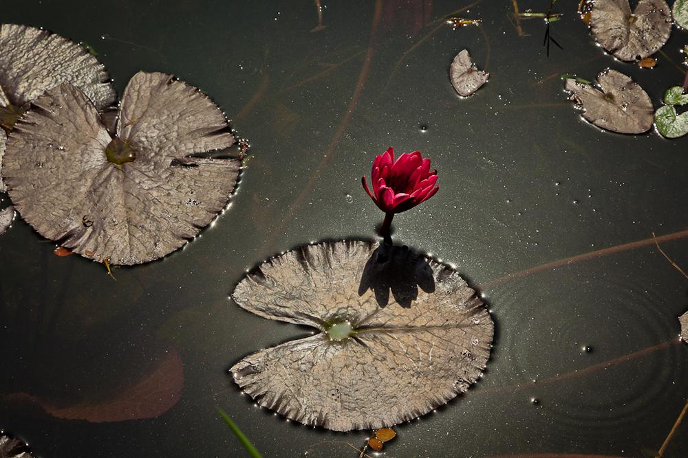 Red lotus flower and leaves in Botanical Gardens, Kolkata, India