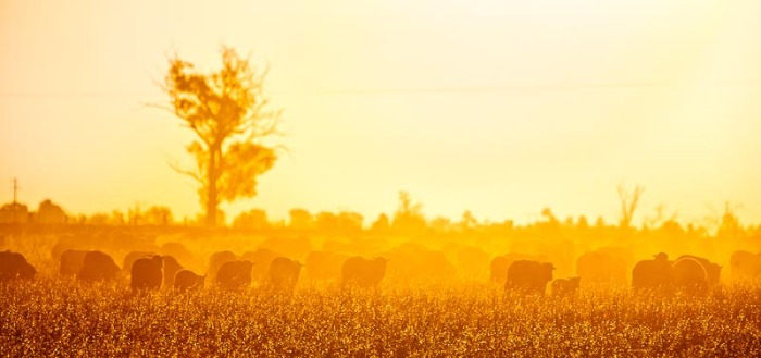 An iconic photograph of a wheat field and sheep, at sunset, near Mildura in far northwest Victoria