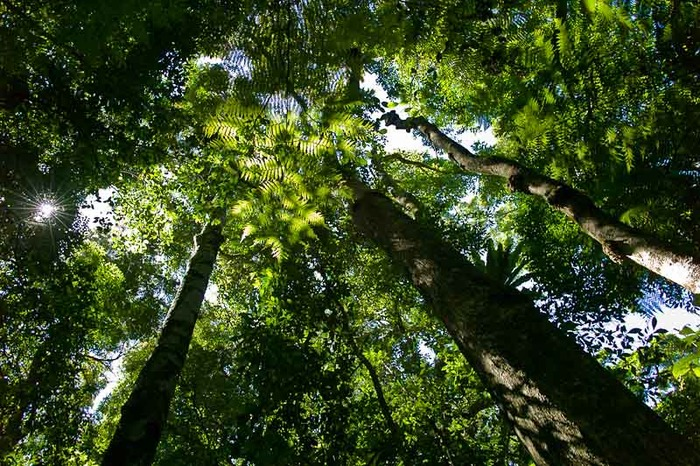 A beautiful photo looking up towards a green canopy in the Gold Coast Hinterland, Queensland