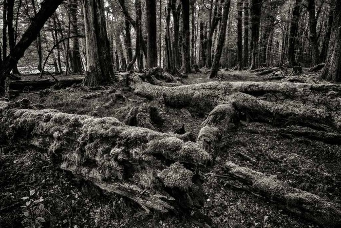 Beautiful black and white image of moss-covered fallen trees in Paradise on the South Island of New Zealand