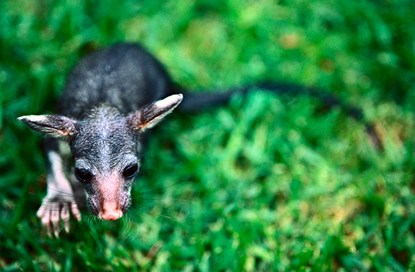 baby orphan possum on green grass photographed from above to emphasize vulnerabiltiy