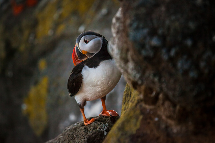 Atlantic Puffin perched high on a cliff face in Látrabjarg, Iceland