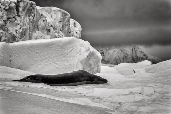 Leopard seal resting on ice just off Cuverville Island on the Antarctic Peninsula