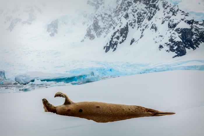 Seal waving, Paradise Harbour, Antarctic Peninsula