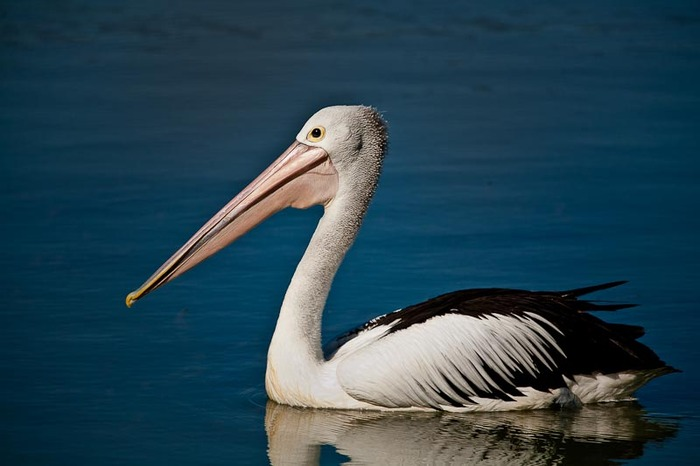 A sunlit photo of a Pelican on the Murray River at Mildura in far northwest Victoria, Australia