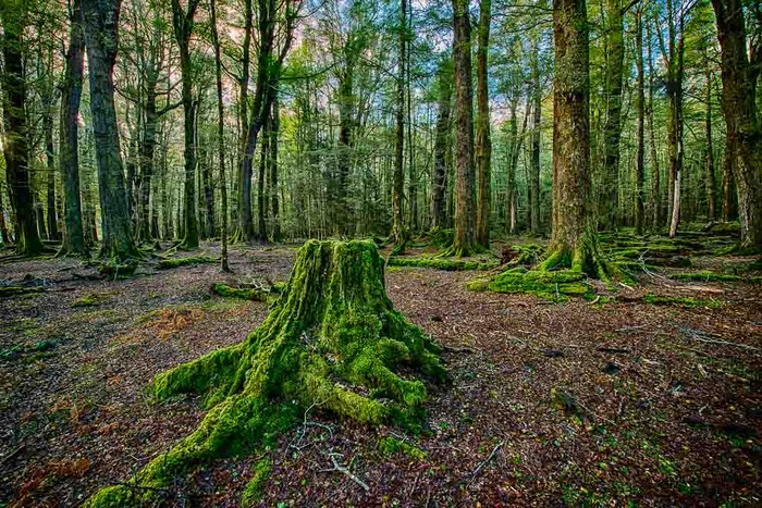 Tree stump and trees in Paradise on the South Island of New Zealand