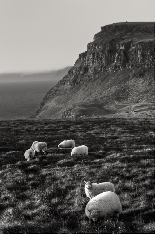 Sheep at sunset, Látrabjarg cliffs, Iceland