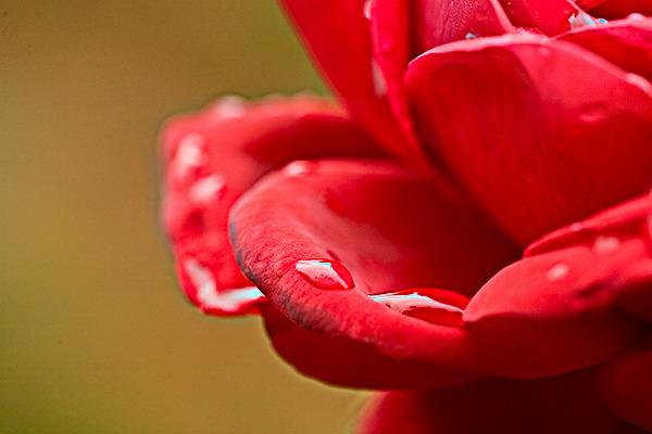 raindropsonrose.jpg