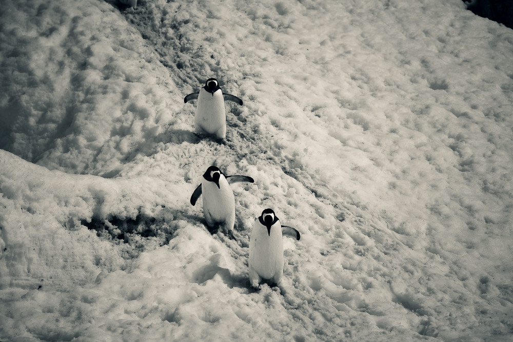 Larry, Curly and Moe. Penguins in Antarctica.