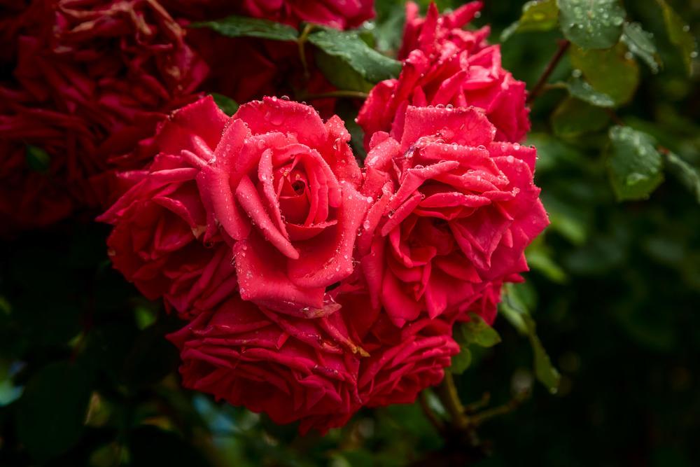 Rain Drops on Roses, Mirabell Gardens, Salzburg, Austria