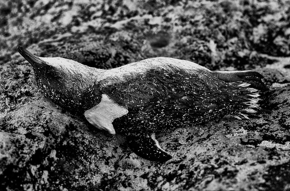 glenn-guy-dead-penguin-gor.jpg