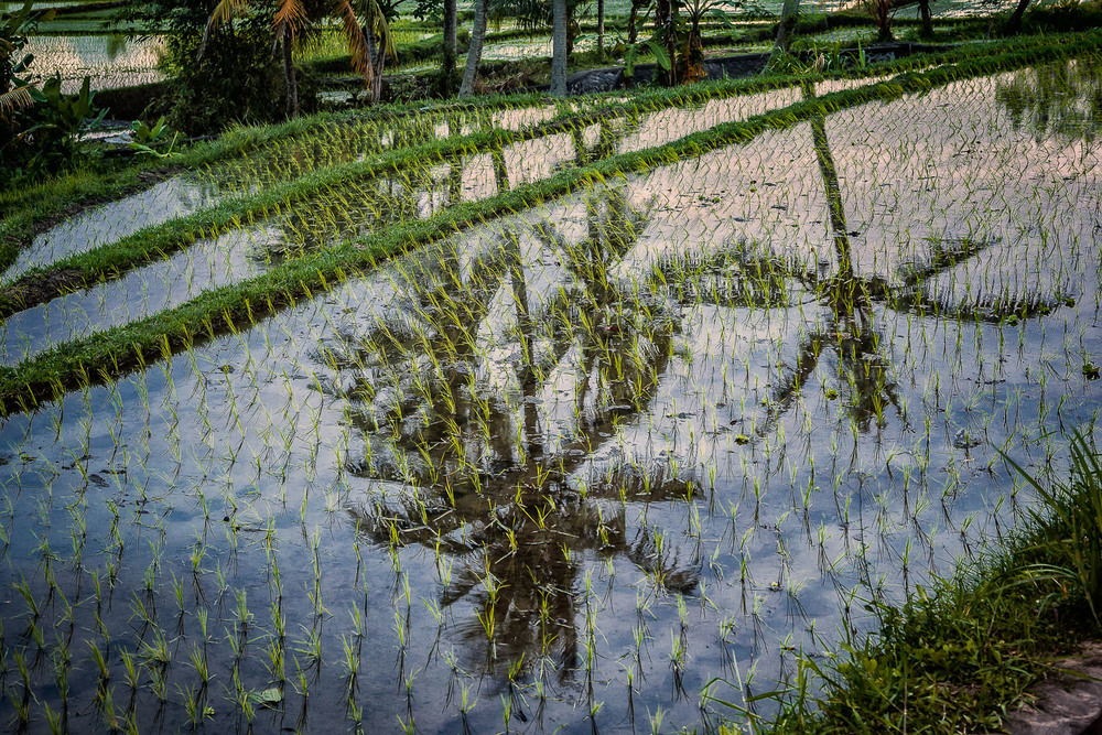 Reflection, Rice Fields, Bali