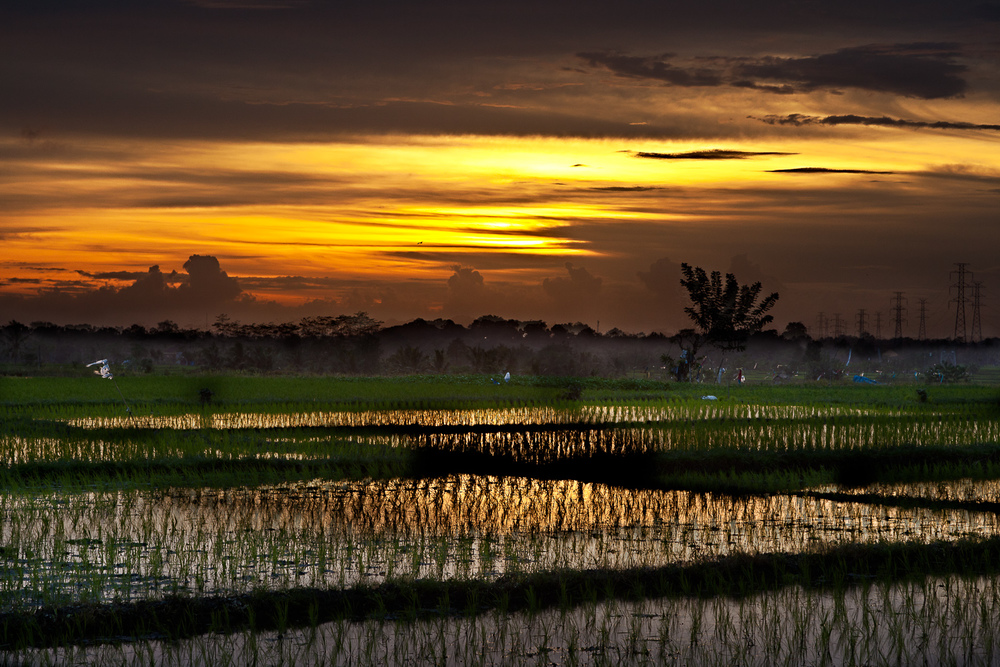 Sunset Over Paddy Fields, Bali