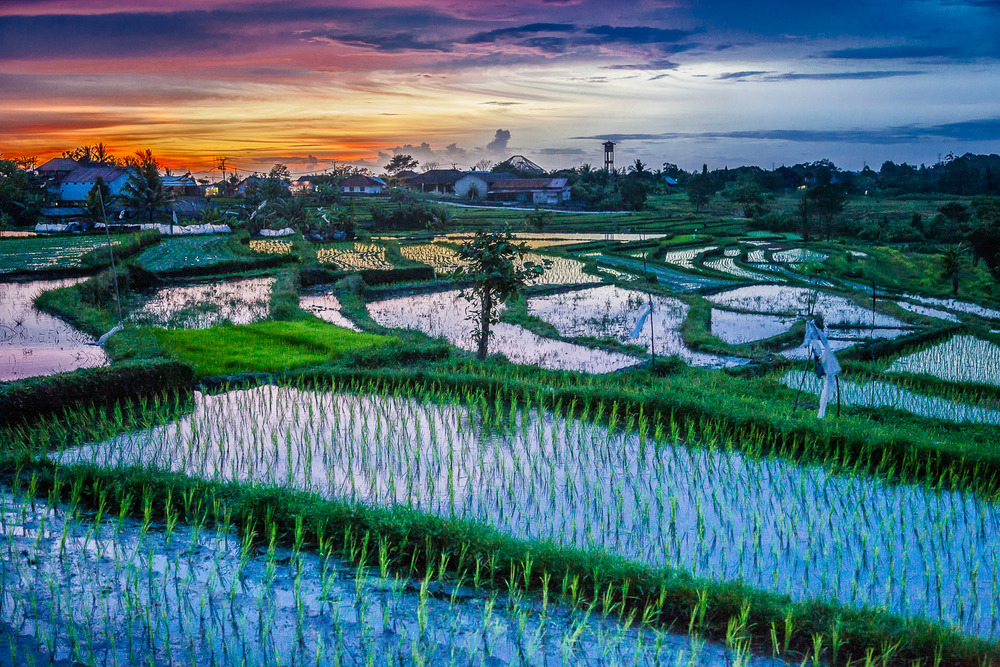 Sunset Over Rice Fields, Bali, Indonesia