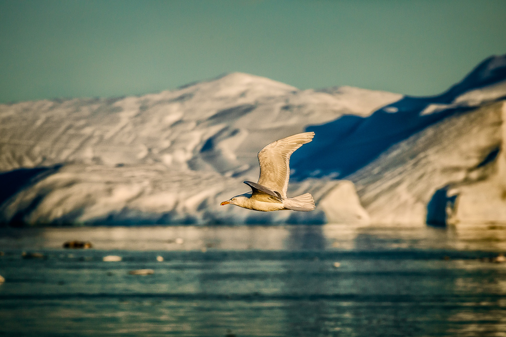 Gull in Flight, Disko Bay, Greenland