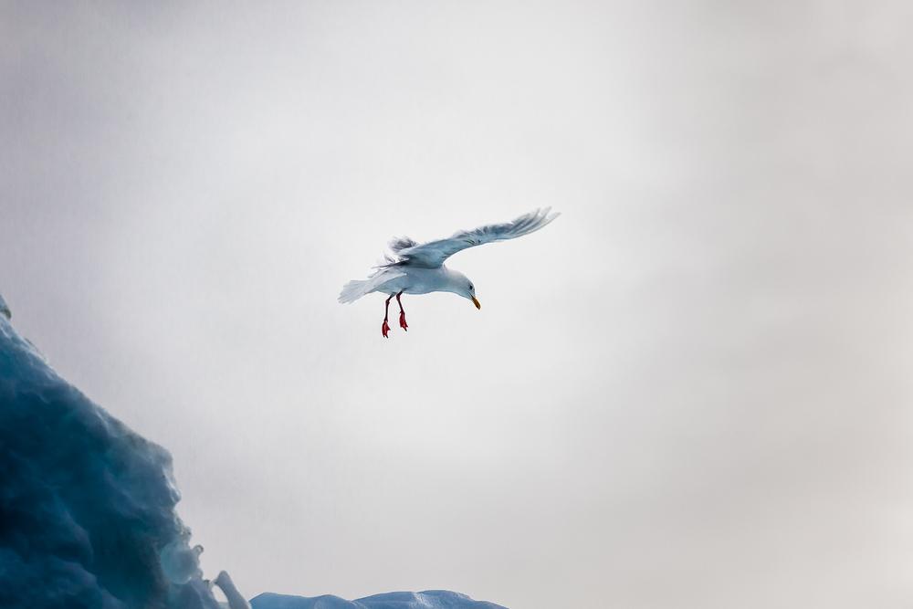Seagull Ilulissat Icefjord, Ilulissat, Greenland