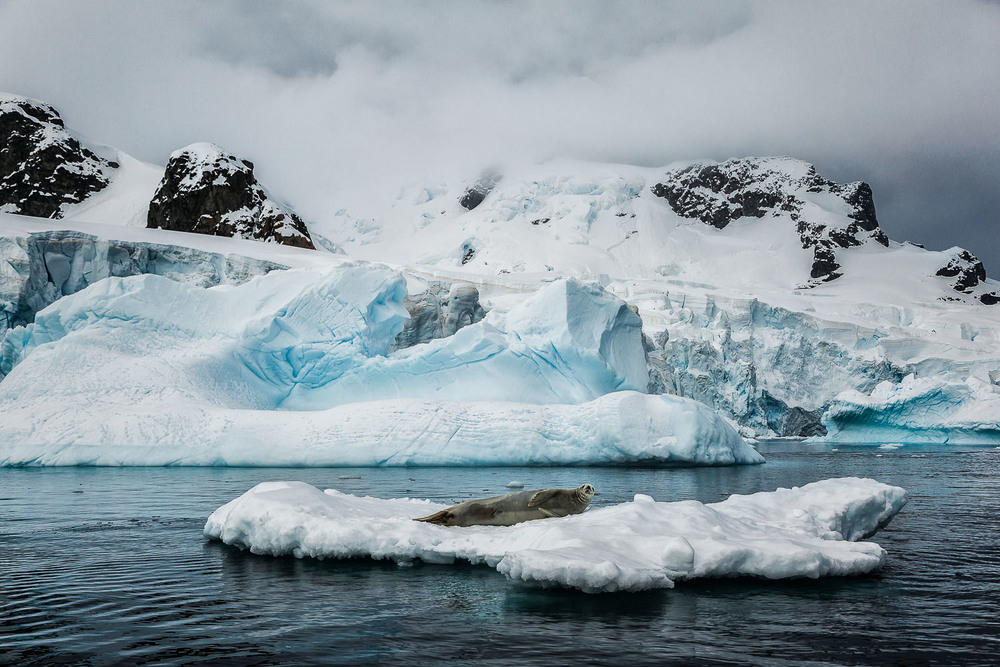 A weddell seal springs to attention while resting on an iceberg near Curverville Island, Antarctica