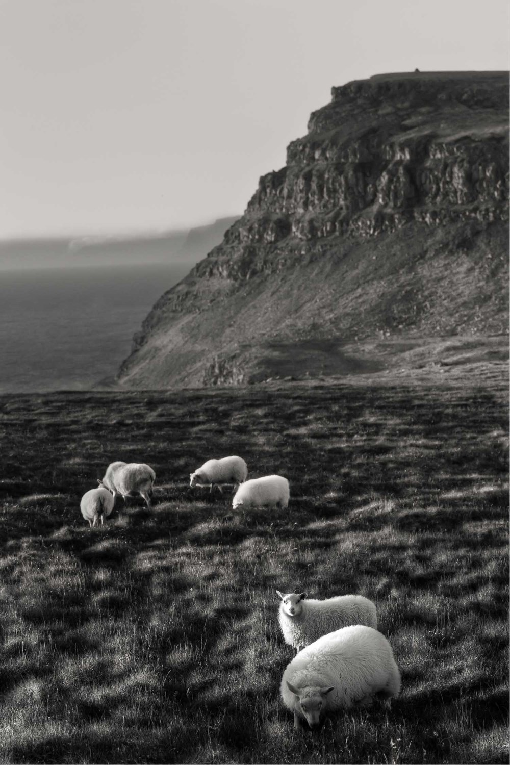 Sheep Grazing, Látrabjarg, Iceland
