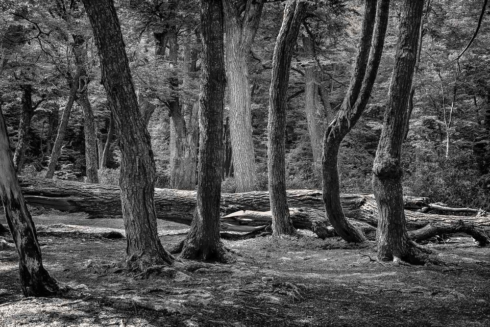 A stand of trees in forested area on the shores of the sea in, Tierra del Fuego National Park, Argentina.