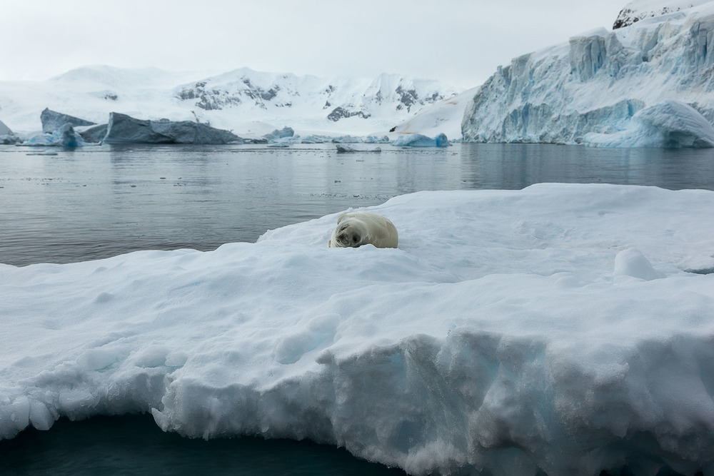 A weddell seal at rest on a slab of ice in Paradise Harbour, Antarctica.