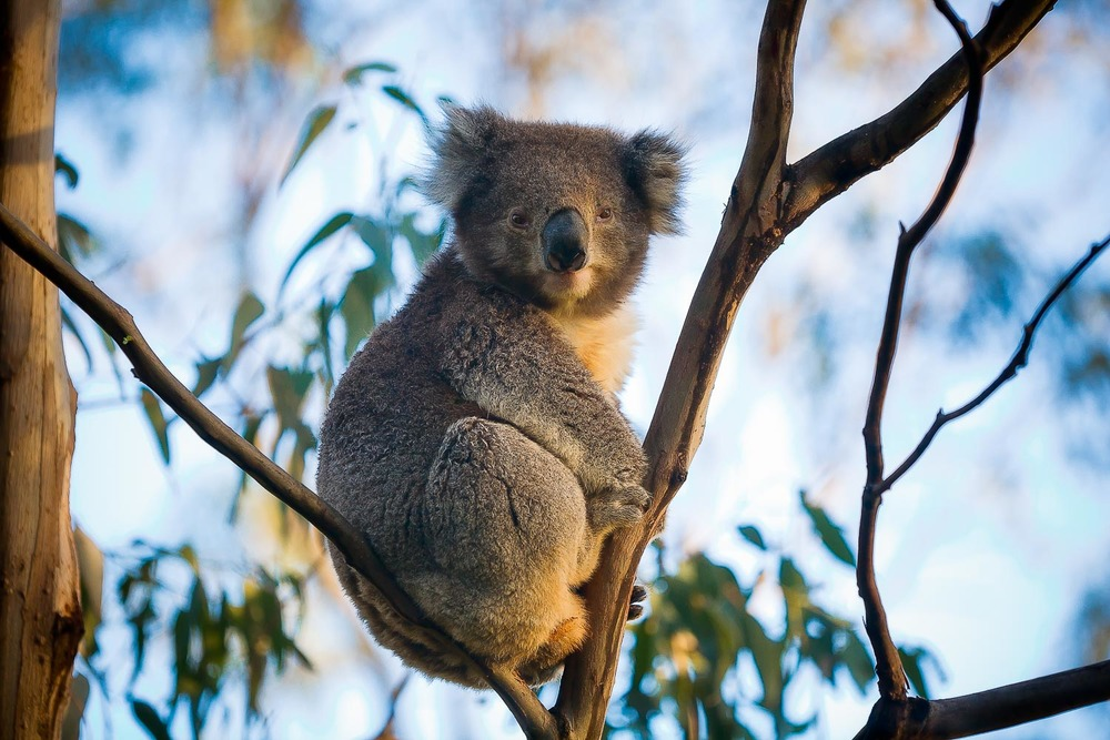 A portrait of a well feed and content Koala sitting in a tree near Cape Otway in Victoria, Australia.