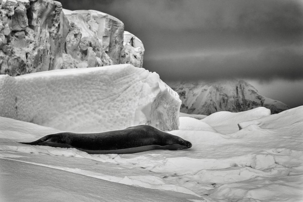 Leopard Seal, Curverville Island, Antarctica