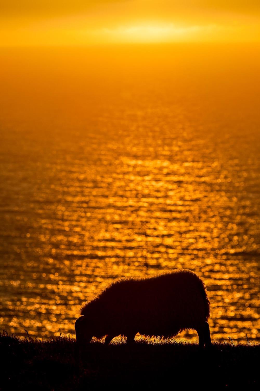 Sheep at Sunset, Látrabjarg Cliffs, Iceland