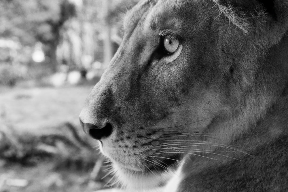 A close up photo of a  lion , in profile, at a  zoo  near  Ubud, Bali, Indonesia .