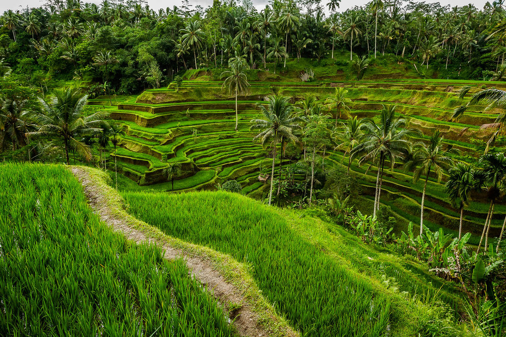Lush terraced rice fields and palm trees on the island of Bali, Indonesia.