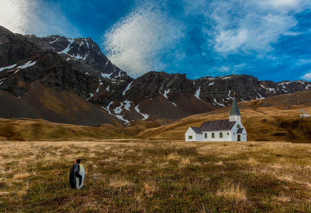 A    King penguin    standing in front of a church at    Grytviken   , the site of a former Norwegian Whaling Station, on    South Georgia Island   .