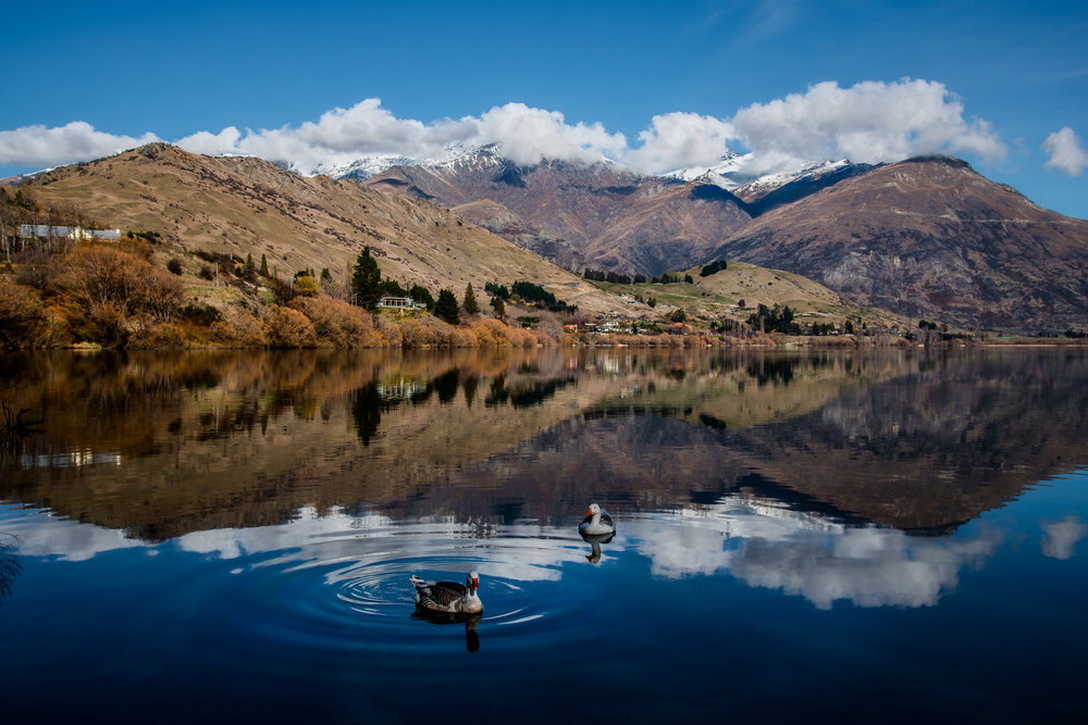 This incredibly picturesque scene features    ducks    swimming on the mirror-like surface of    Lake Hayes    near    Arrowtown    on the South Island of    New Zealand   .