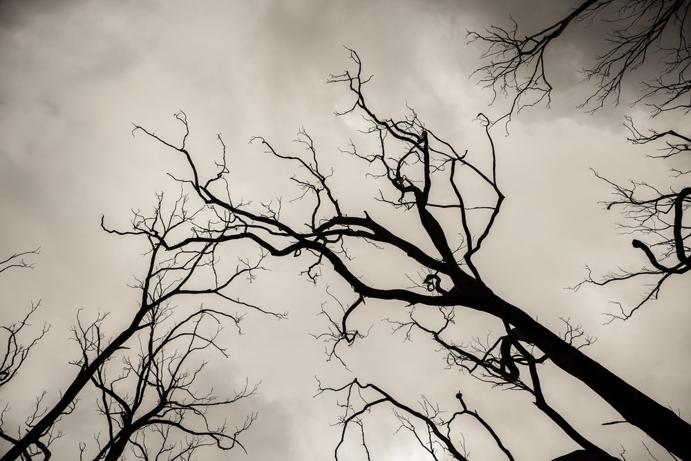 Burnt trees    silhouetted against a bleak sky in    fire-ravaged Victoria, Australia   .