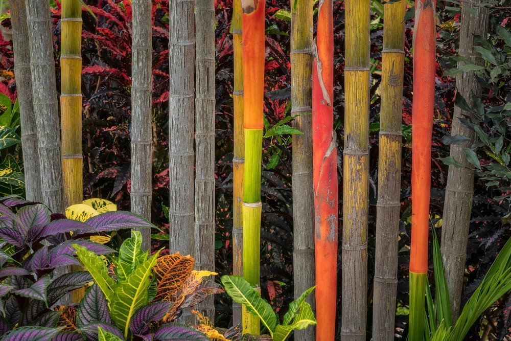 Incredibly vibrant colors  dominate this small stand of  bamboo  in the city of  Darwin, Australia .