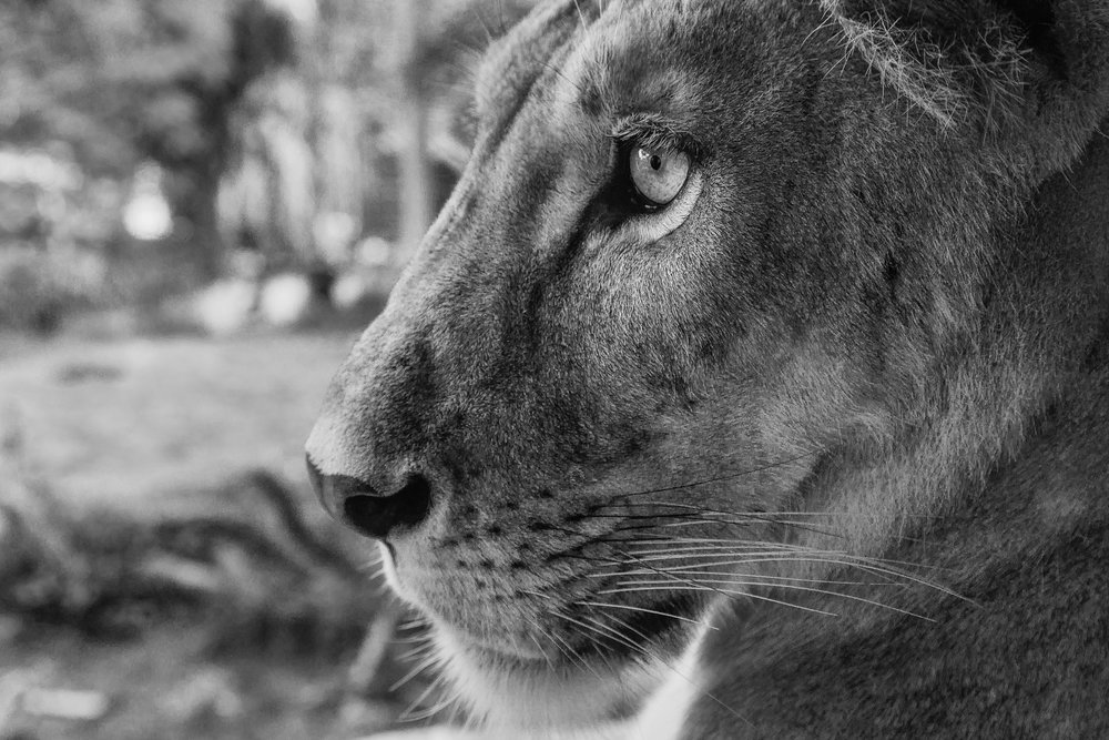 A close up photo of a    lion, in profile   , at a Zoo near    Ubud, Bali, Indonesia   .