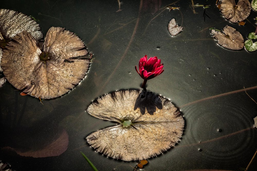 Lotus Flower, Kolkata, India