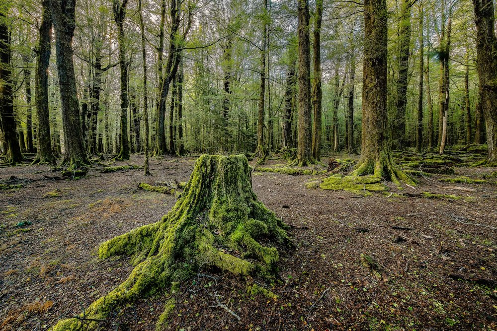 A tree stump is all that remains of a former giant of the forest in Paradise, New Zealand.