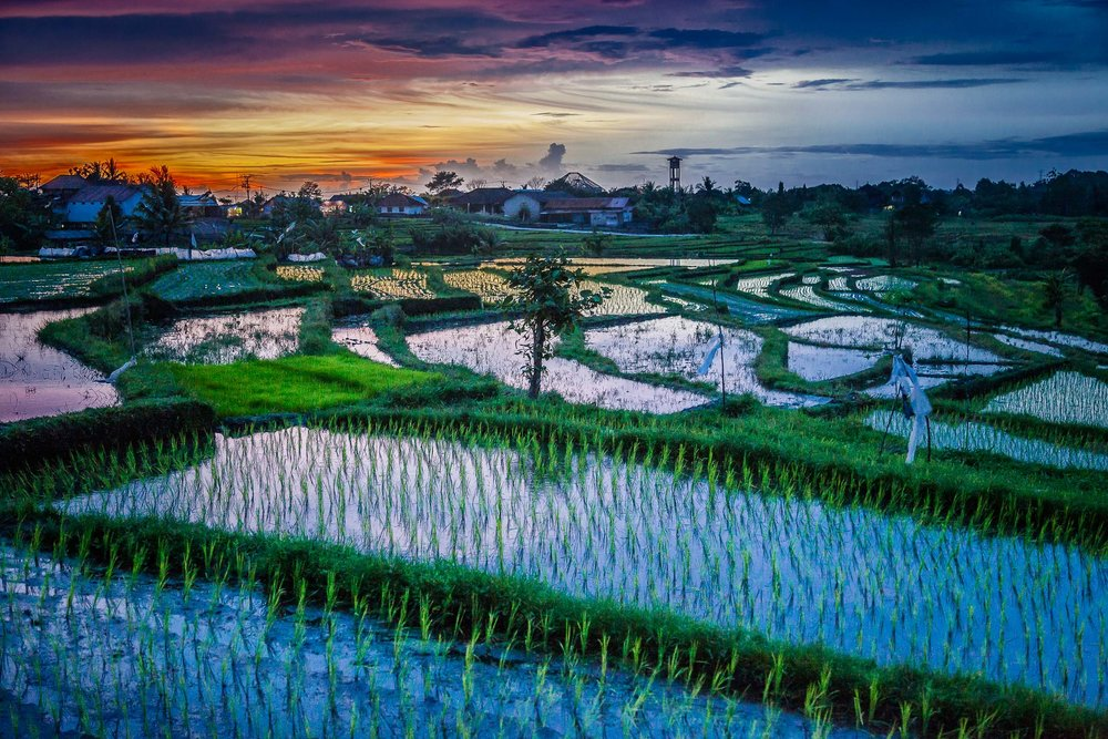 A glorious sunset over rice fields in rural Bali, Indonesia.