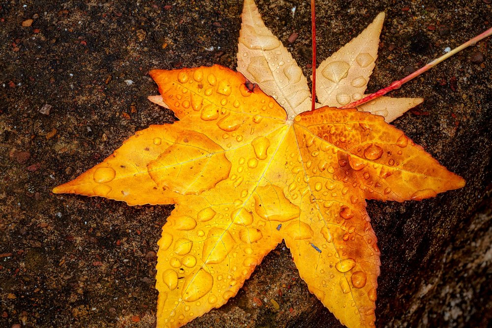 Rain drops on a colorful autumn leaf makes for a dynamic desgin in Central Victoria, Australia.