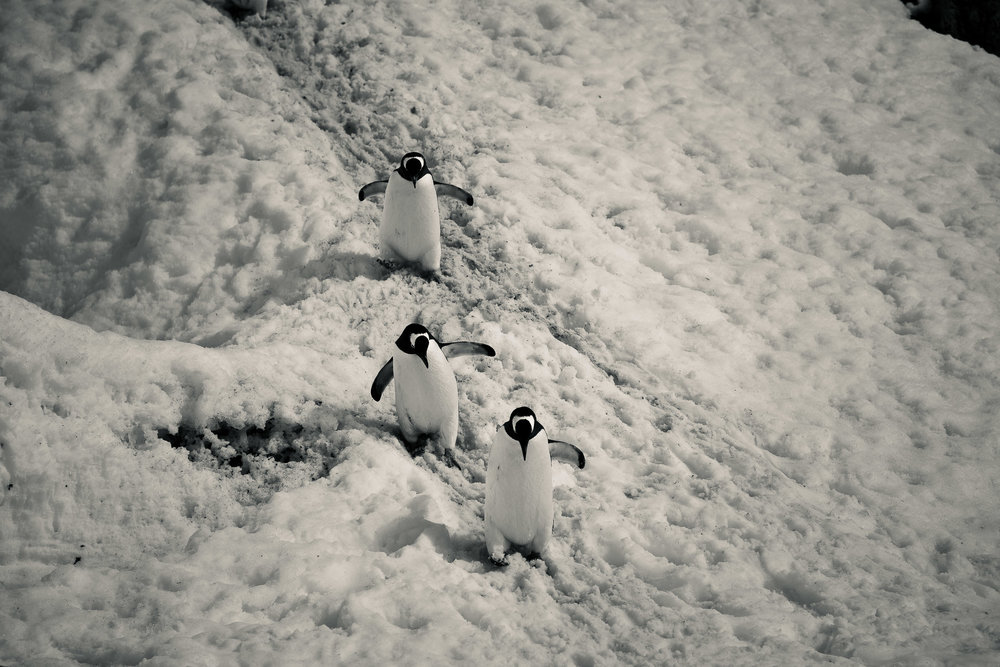 Three penguins carefully making their way down a slippery slope at Port Lockroy, Antarctica