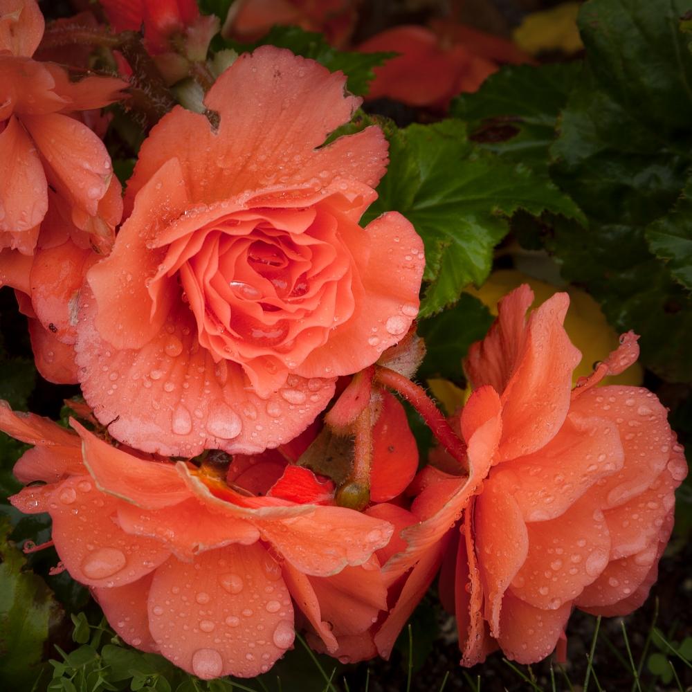 Rain drops gather on pink roses in Mirabell Gardens in Salzburg, Austria.