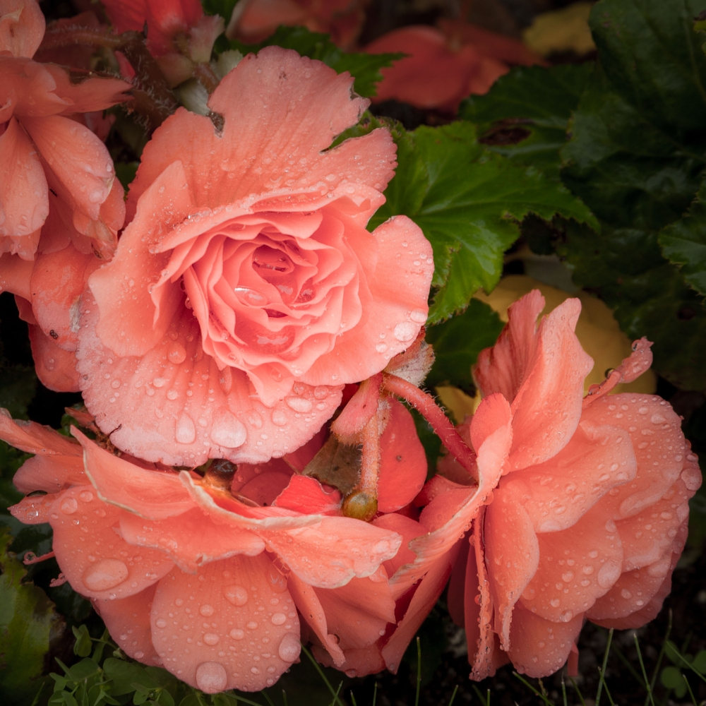 Rain drops gather on pink roses in Mirabell Gardens in Salzburg, Austria.