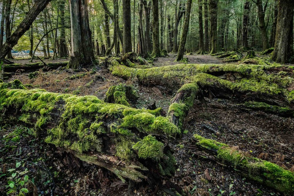 Moss covered trees    lie strewn across the    forest floor    at    Paradise    in    New Zealand   .