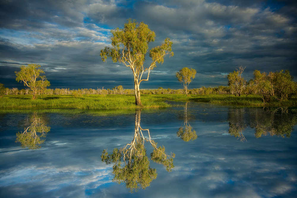 A  reflection of a large paperbark tree  by the water's edge in  Kakadu National Park, Australia .