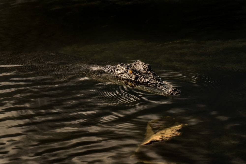 An  inquesitive crocodile  in the  Yellow Waters Billabong ,  Kakadu National Park, Australia .