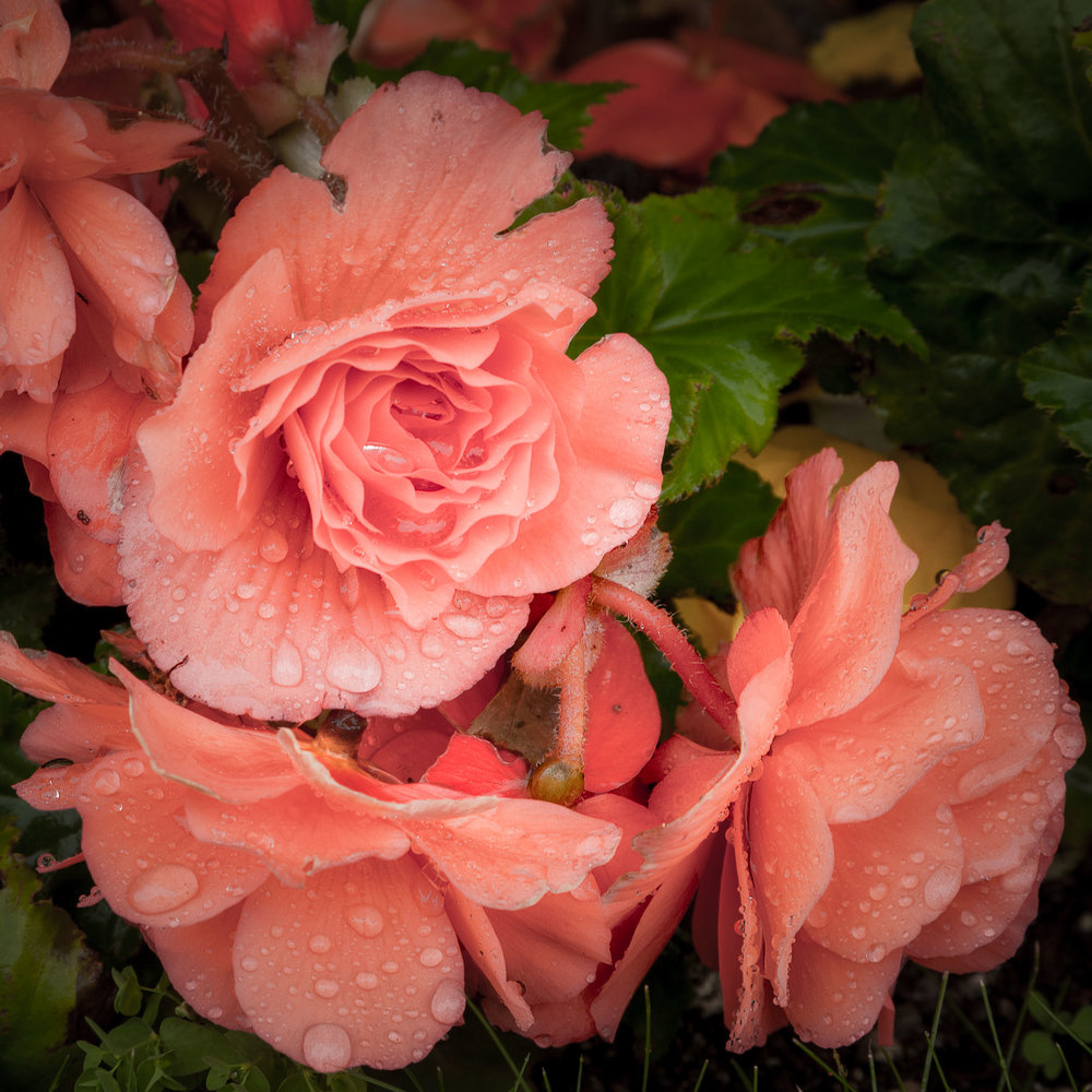 Pink Roses in the Rain, Mirabell Gardens, Salzburg