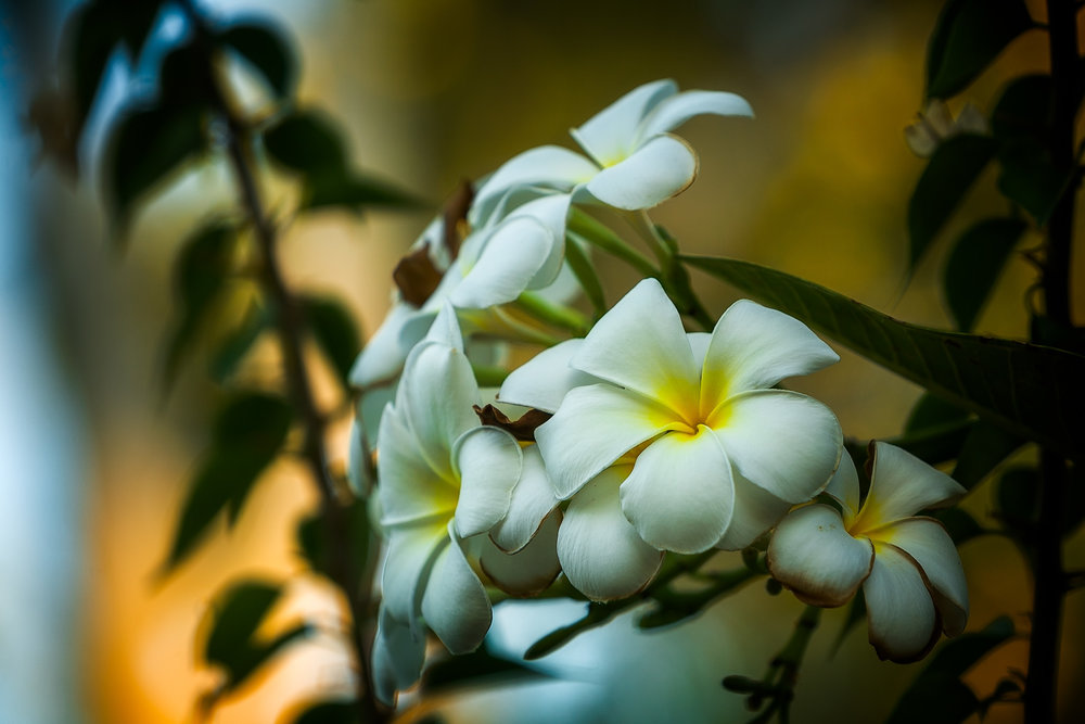 Flowers, Kakadu, Australia