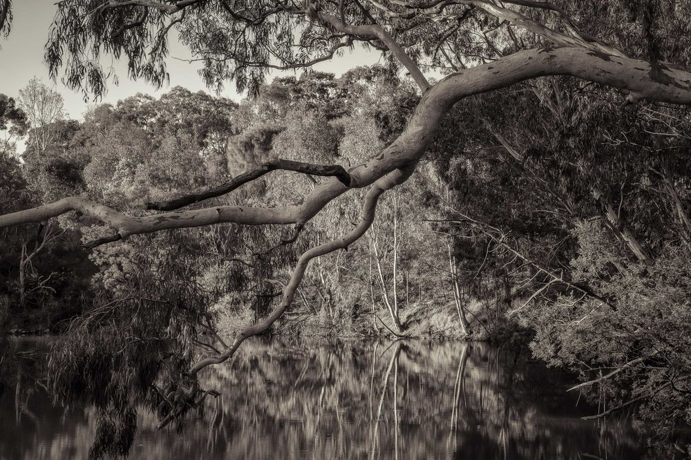 Trees and Water, Yarra River, Fairfield
